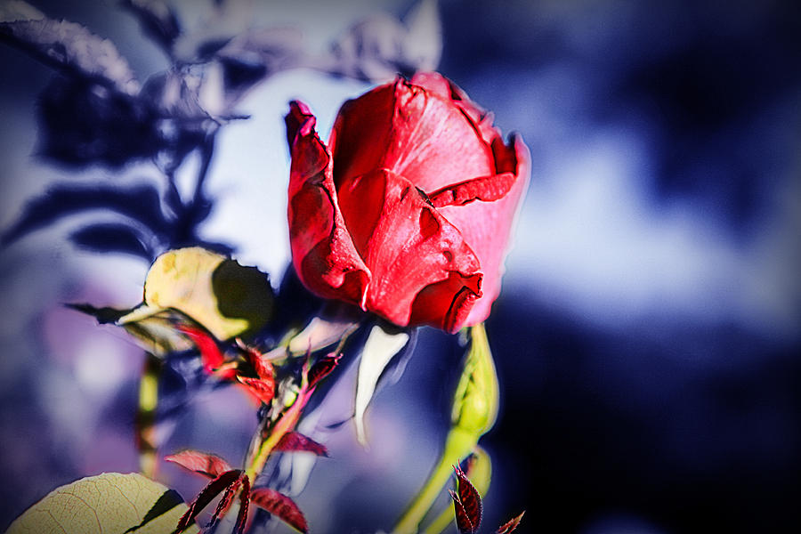 Rose Photograph - Rose by Ryan Smith