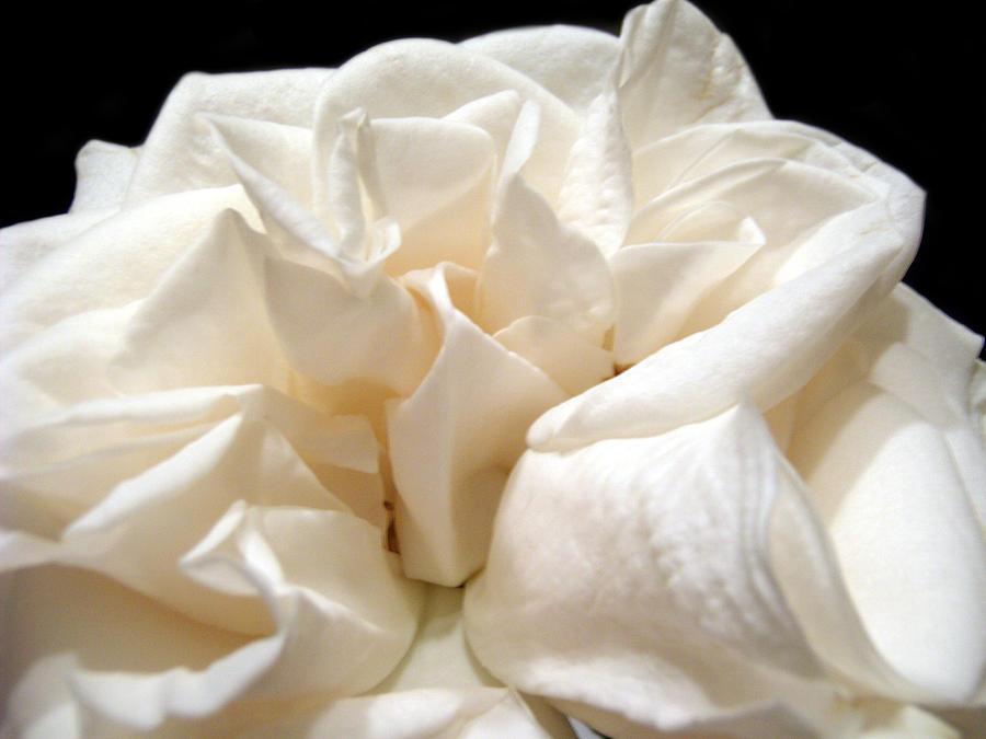 Rose Photograph - Rose Taffeta by Nicole I Hamilton