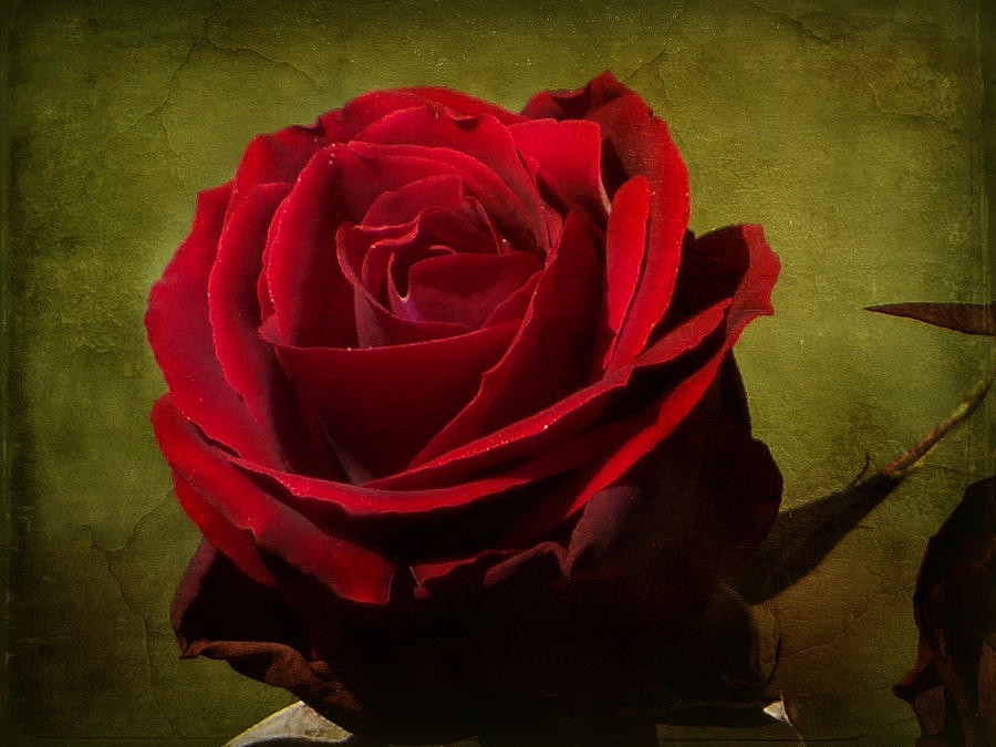 Red Photograph - Rose Tapestry by Blair Wainman