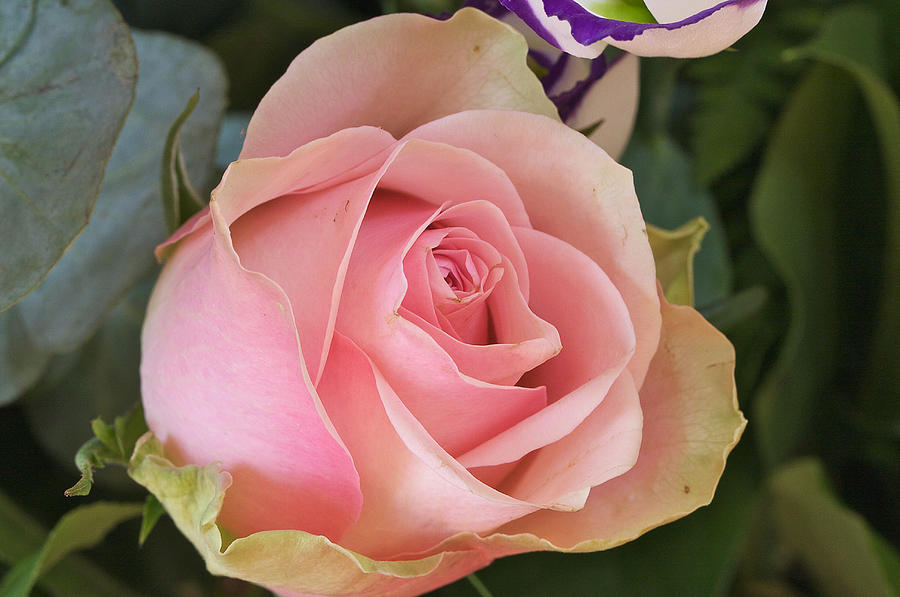Flower Photograph - Rose by Theo Tan