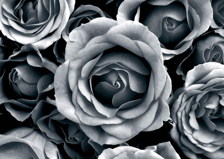 Flower Photograph - Rose Tones by Jessica Jenney