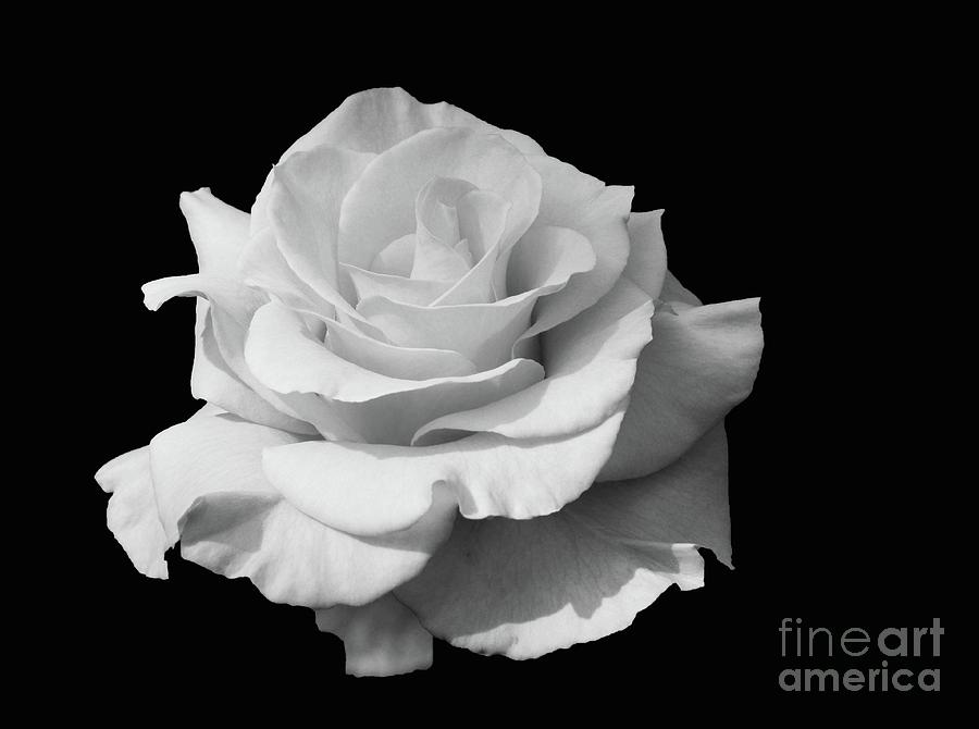 Flowers Photograph - Rose Unfurled In Black And White by Cindy Manero