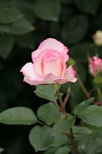 Rose.5671 Photograph by Takuo Hirata