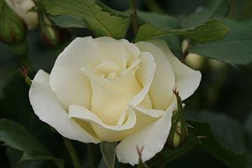 White Rose Photograph - Rose.5677 by Takuo Hirata
