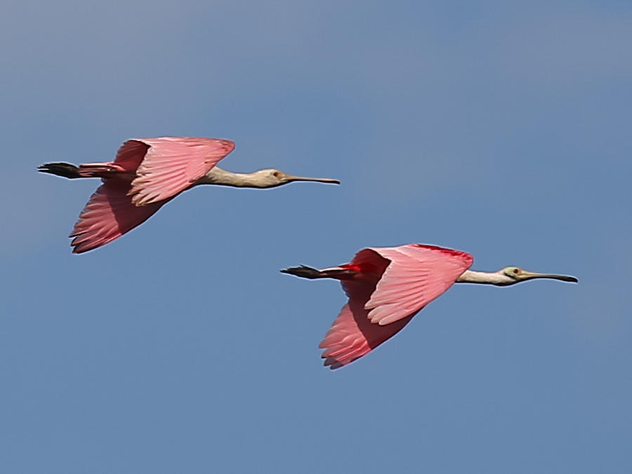 Roseate Spoonbills Photograph by Dart and Suze Humeston