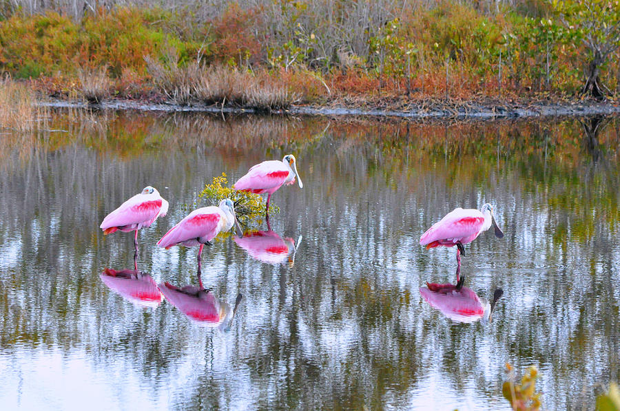 Birds Photograph - Roseate Spoonbill by Debra White