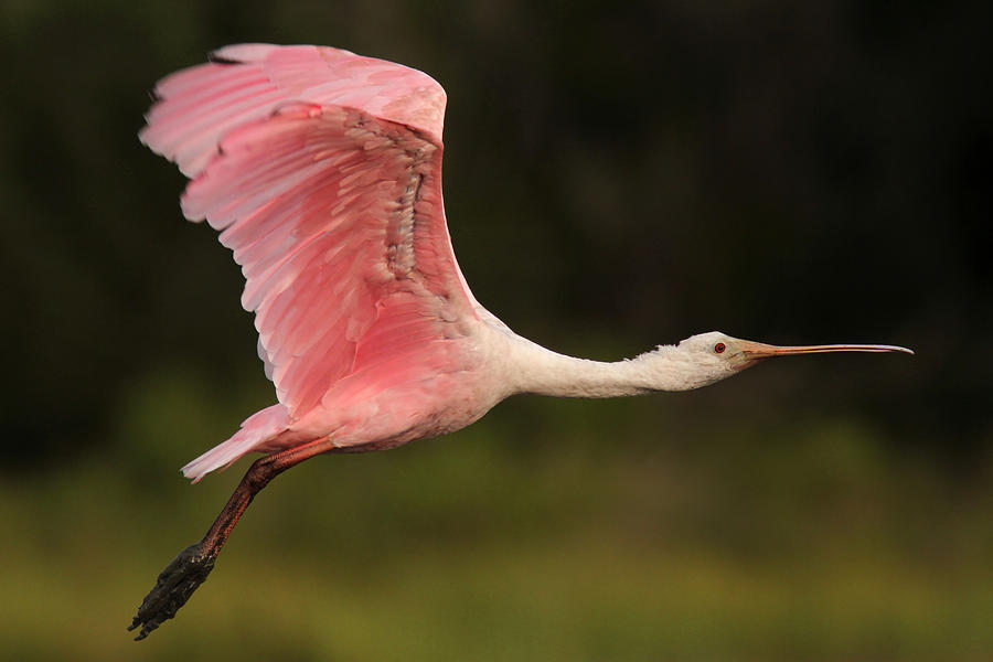 Roseate Spoonbill Photograph - Roseate Spoonbill In Flight by Phil Lanoue