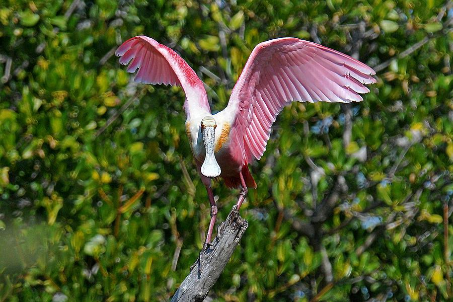 Spoonbill Photograph - Roseate Spoonbill Wings Spread by Alan Lenk