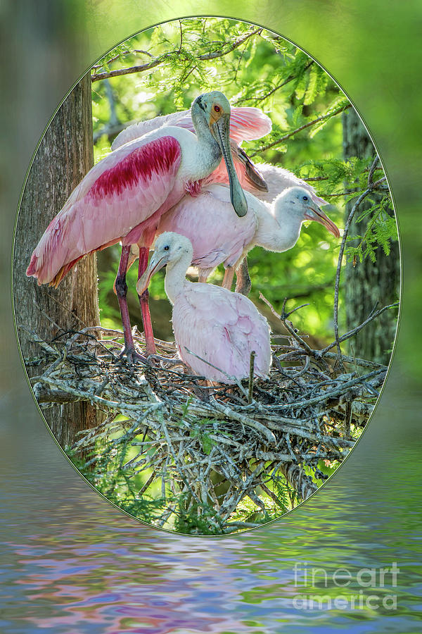 Roseate Spoonbills Photograph - Roseate Spoonbills In Evangeline Parish Louisiana by Bonnie Barry