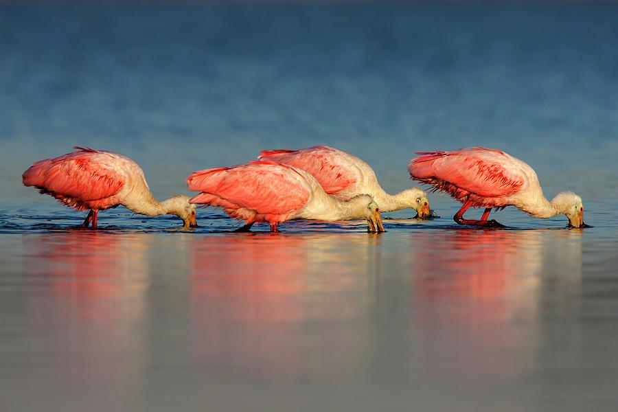 roseate spoonbills by Pablo Rodriguez Merkel