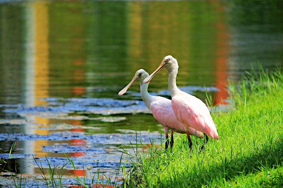 Birds Photograph - Roseate Spoonbills by Vicki Dreher