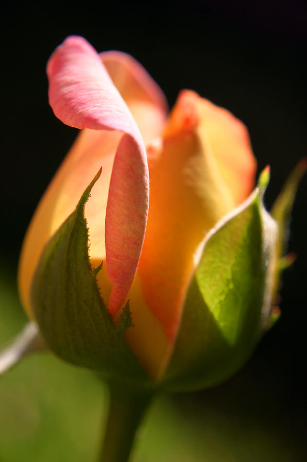 Rosebud Photograph - Rosebud by PIXELS  XPOSED Ralph A Ledergerber Photography