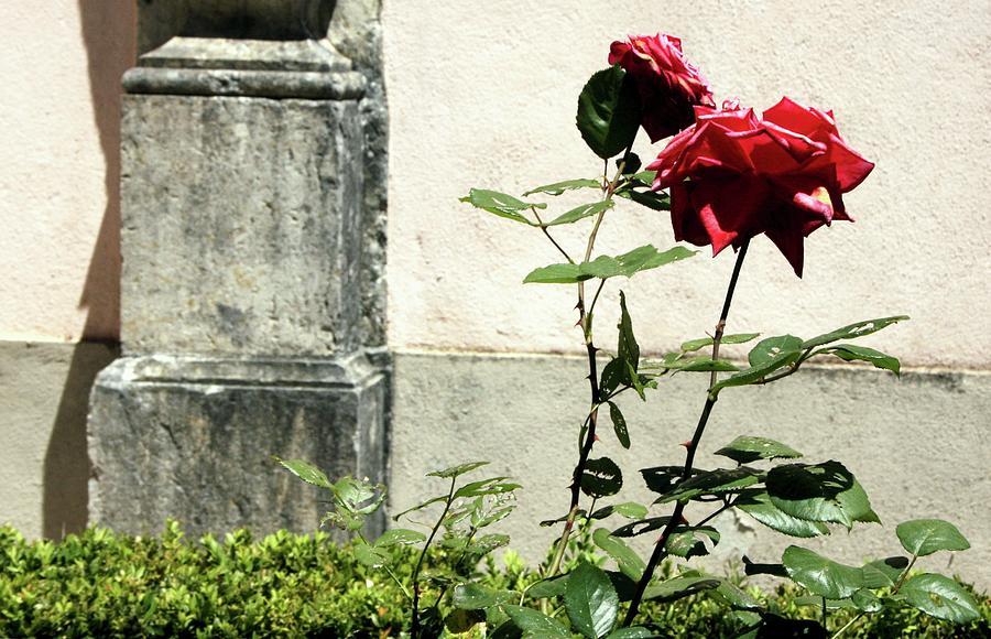 Flower Photograph - Rosebush by Raquel Daniell