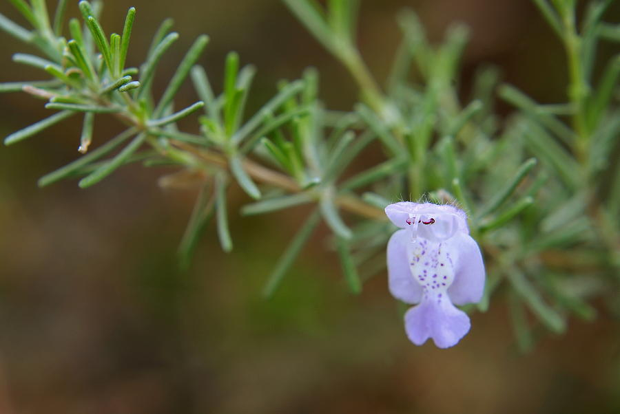 Rosemary Photograph - Rosemary Bloom by Arthurpete Ellison