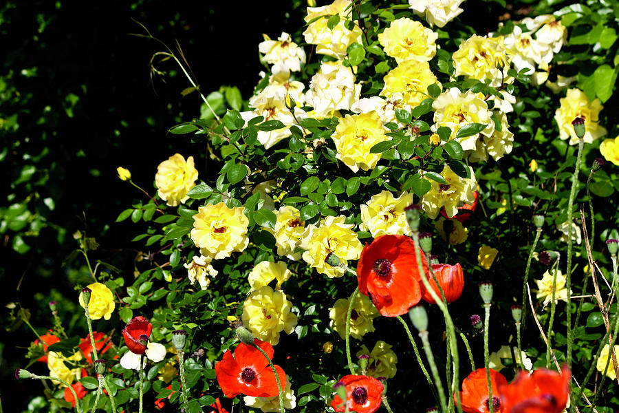 Roses Photograph - Roses And Poppies by Teresa Mucha