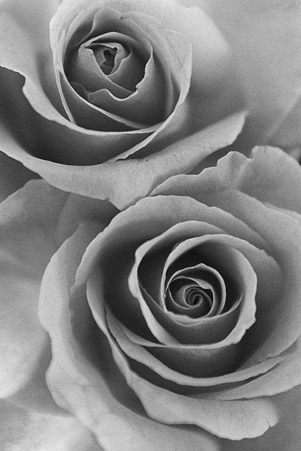 roses black and white photograph by jill reger