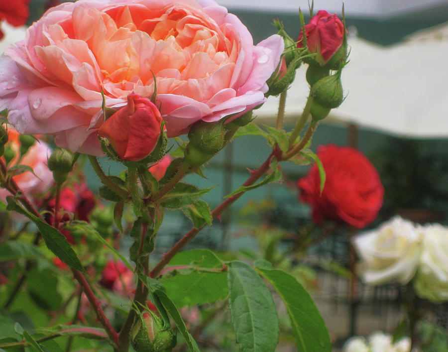 Rose Photograph - Roses Everywhere by JAMART Photography