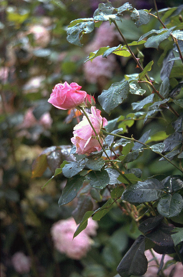 Roses Photograph - Roses by Flavia Westerwelle