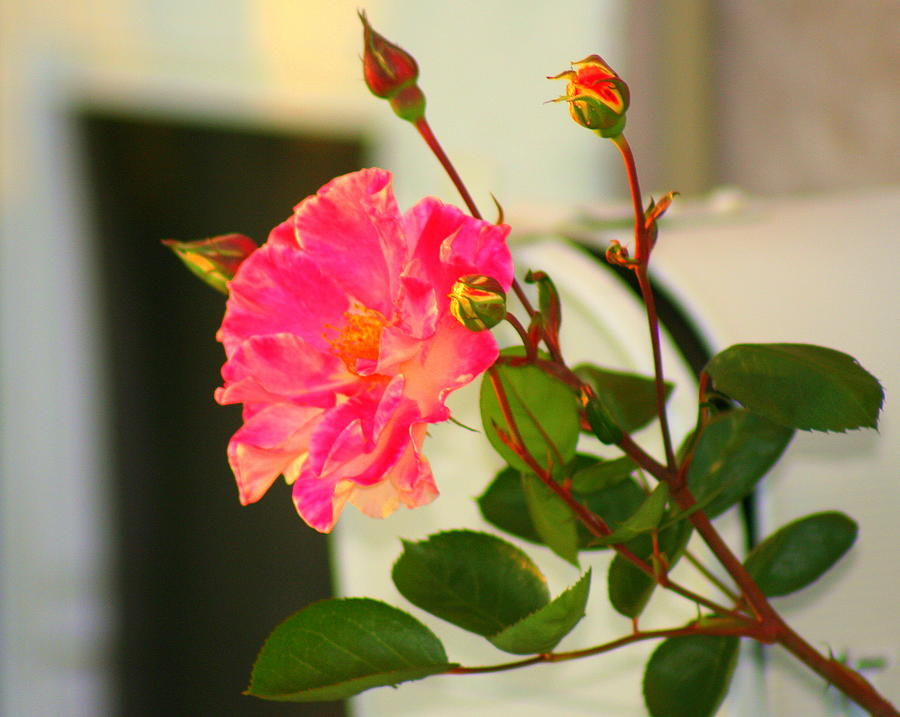 Nature Photograph - Roses In Bloom by Kerry Reed