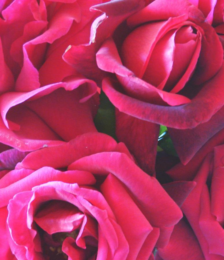 Roses Like Velvet Photograph by Dana Patterson