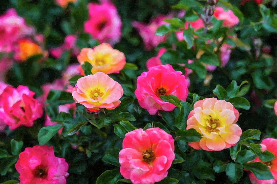 Roses Photograph - Roses by Roy Nierdieck