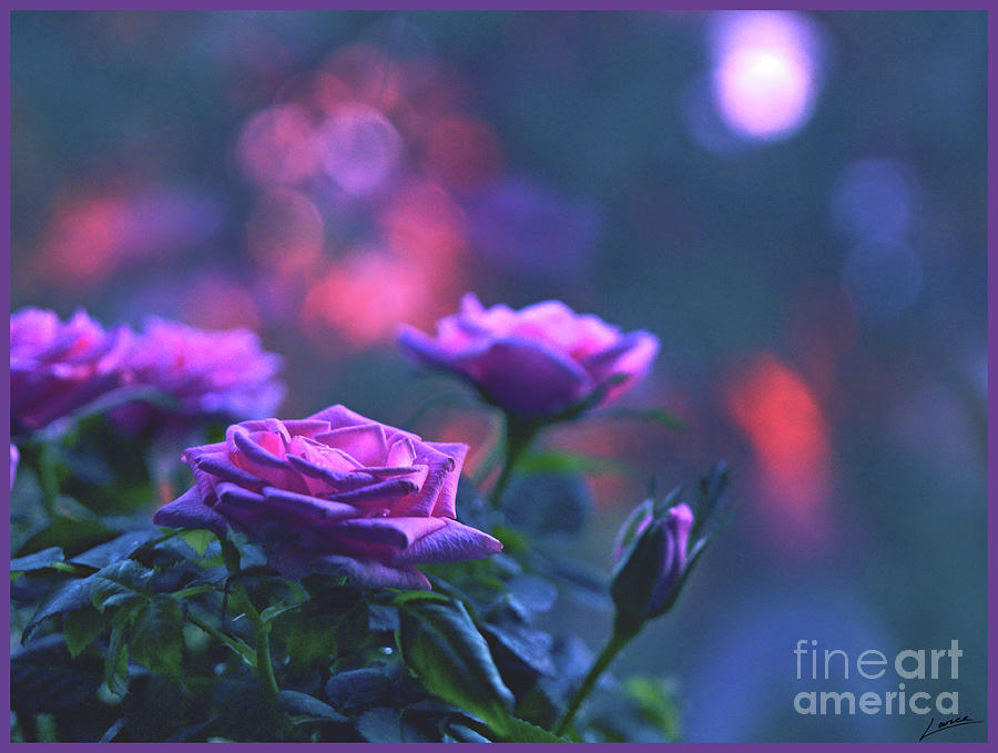 Roses With Evening Tint by Lance Sheridan-Peel