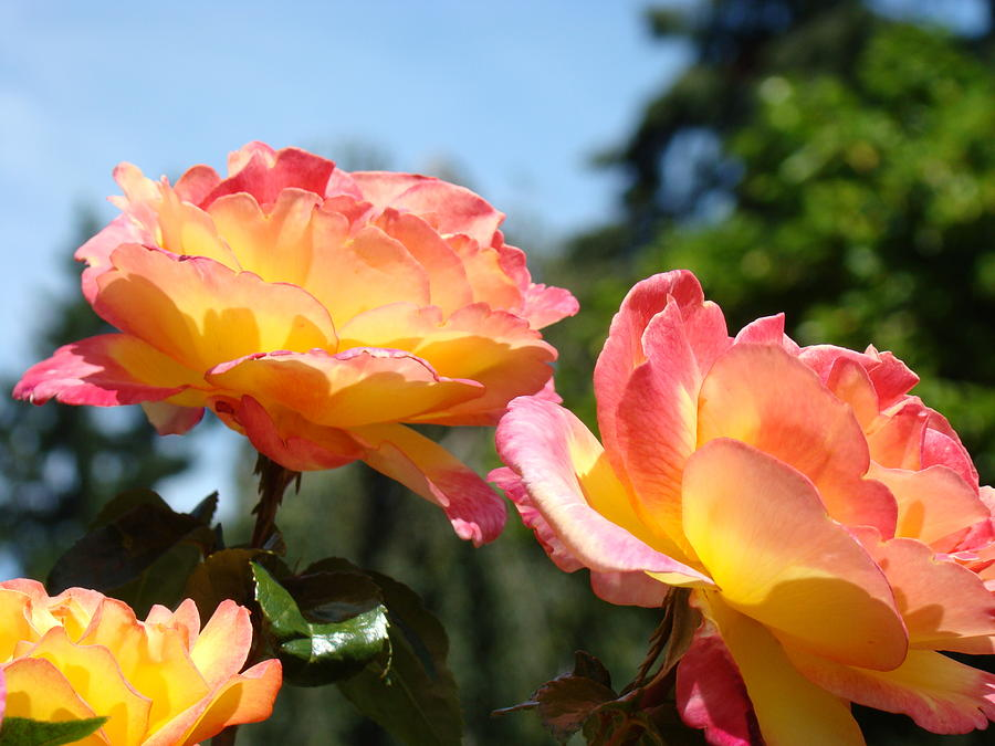 Rose Photograph - Roses Yellow Roses Pink Summer Roses 4 Blue Sky Landscape Baslee Troutman by Baslee Troutman