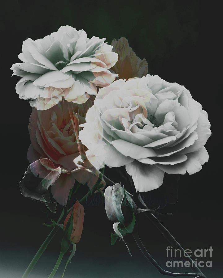Roses2 Photograph by Candydash Images