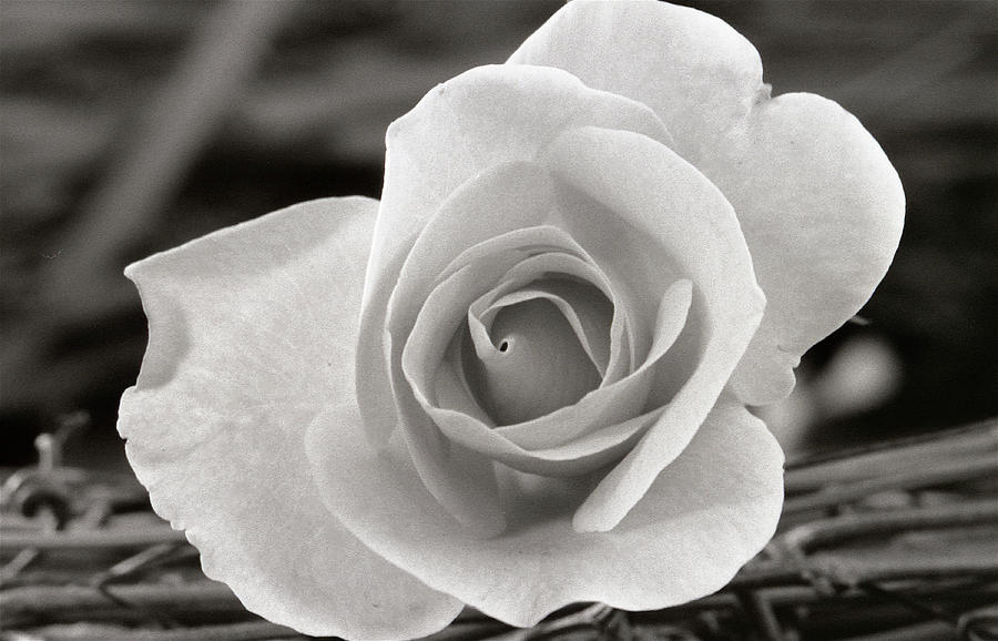 Flower Photograph - Rosewood009 by Michael Peychich