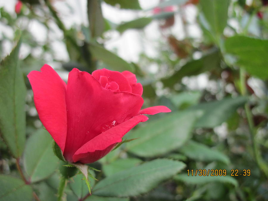 Rosey Red Photograph by Kyle Hughey