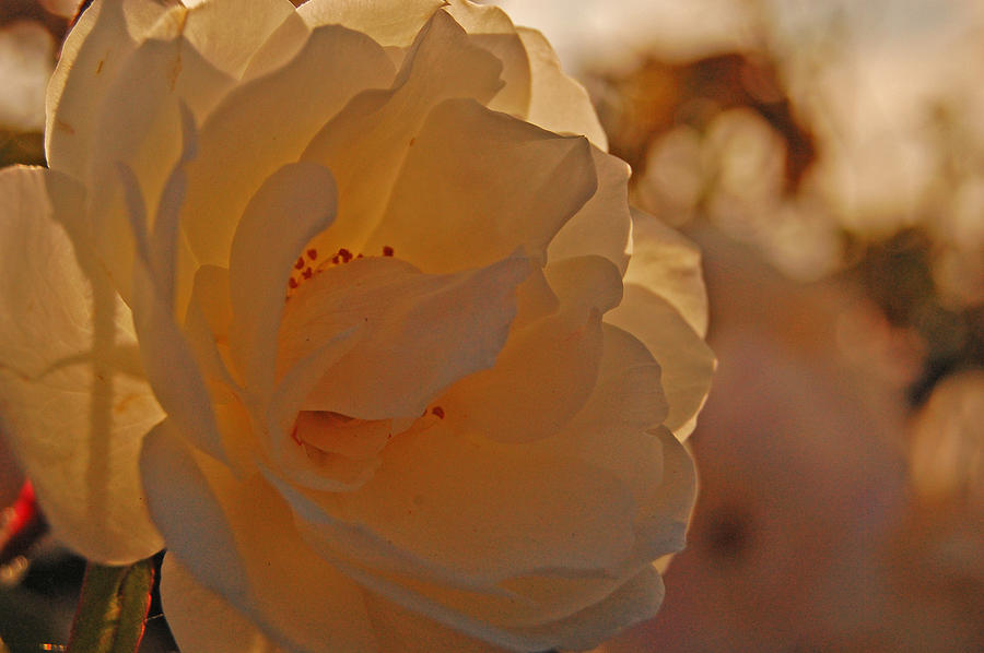 Rose Photograph - Rosy Afternoon 2 by Jean Booth