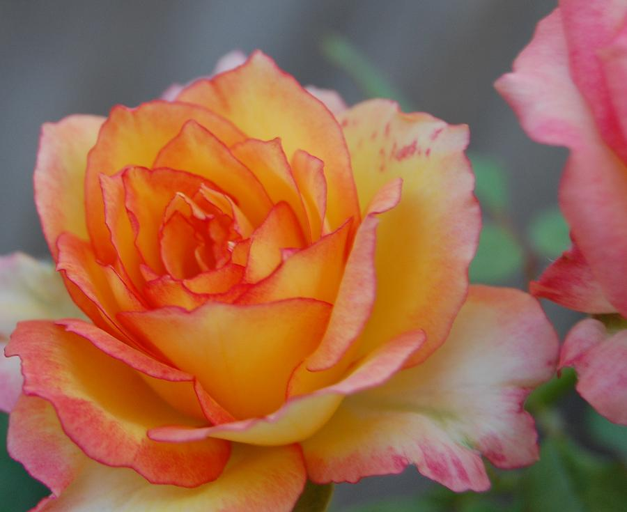 Rose Photograph - Rosy Outlook by Jean Booth