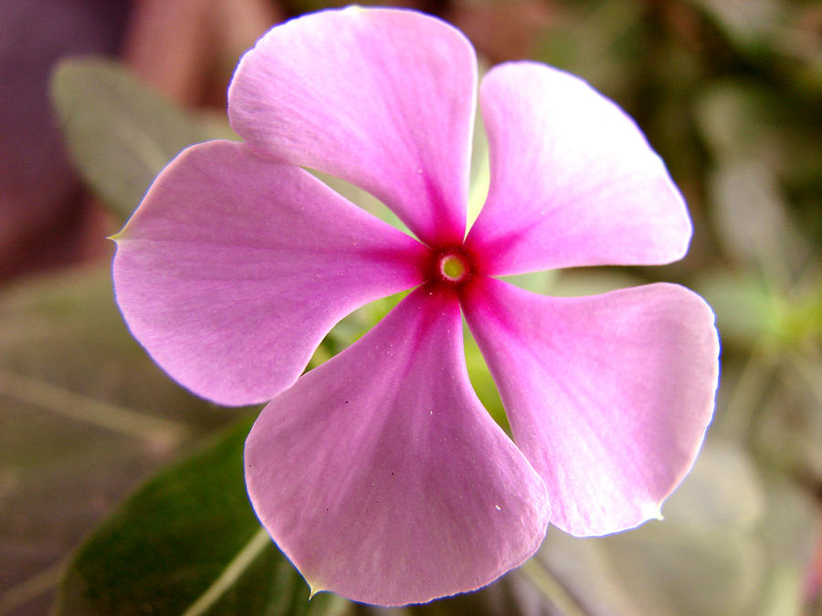 Rosy periwinkle photograph by shariq khan periwinkle photograph rosy periwinkle by shariq khan mightylinksfo