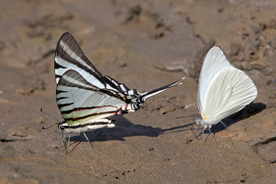 Rothschilds Swordtail Eating Minerals Photograph