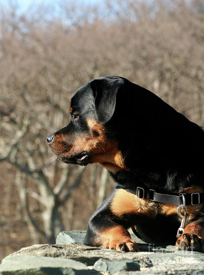 Rottweiler Photograph - Rottie Profile by Gregory E Dean