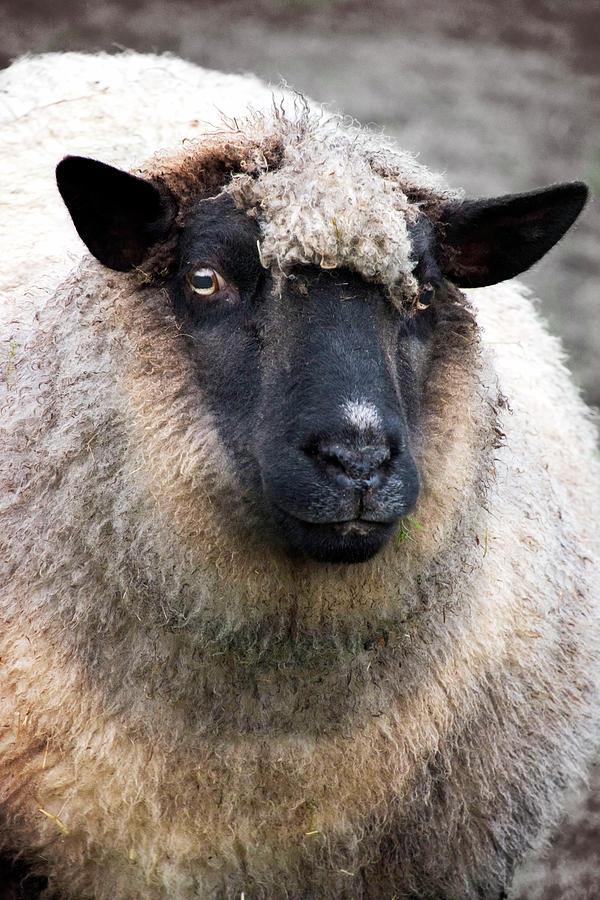 Round Sheep Photograph