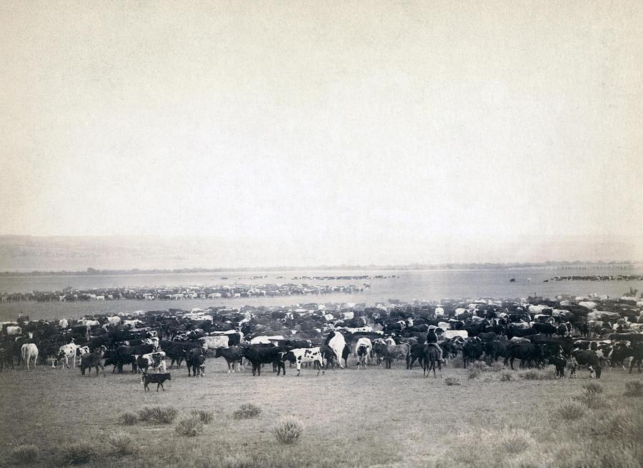 1880s Photograph - Round-up At Moss Agate, Dakota by Everett