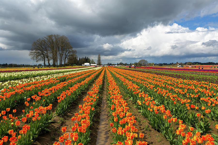 Wooden Shoe Photograph - Rows Of Colorful Tulips At Festival by David Gn