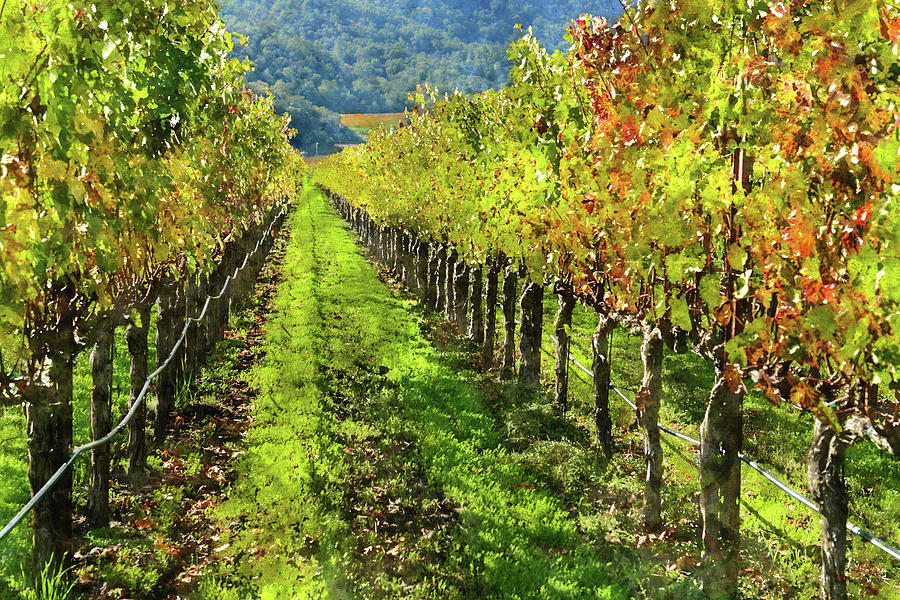 Rows of Grapevines in Napa Valley Caliofnia by Brandon Bourdages