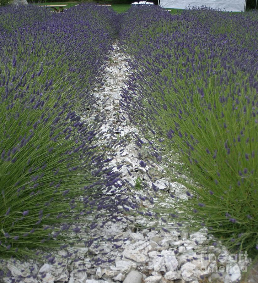 Flower Photograph - Rows Of Lavender by Robert Torkomian