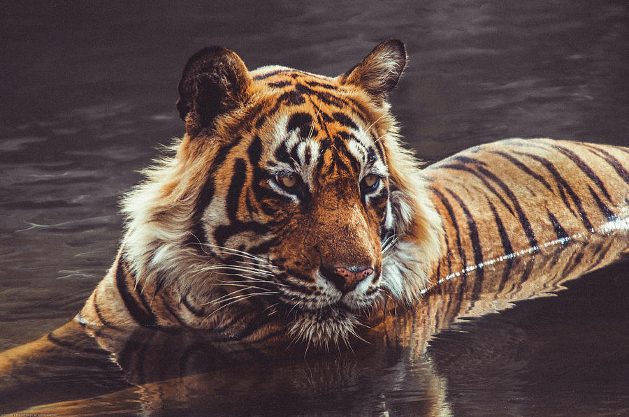 Tiger Photograph - Royal Bengal Tiger In Matte  by Manjot Singh Sachdeva