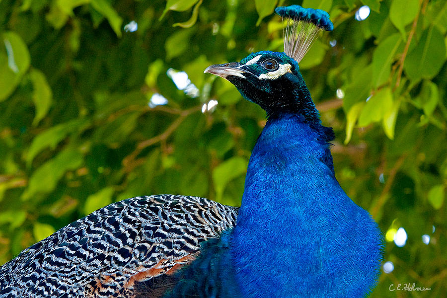 Avian Photograph - Royal Bird by Christopher Holmes