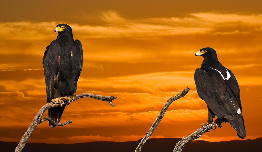 Eagle Photograph - Royal Flush - African Black Eagles by Basie Van Zyl