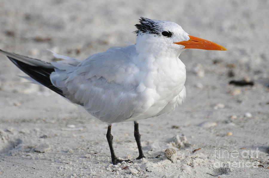 Royal Tern Photograph - Royal Tern  by Rose  Hill