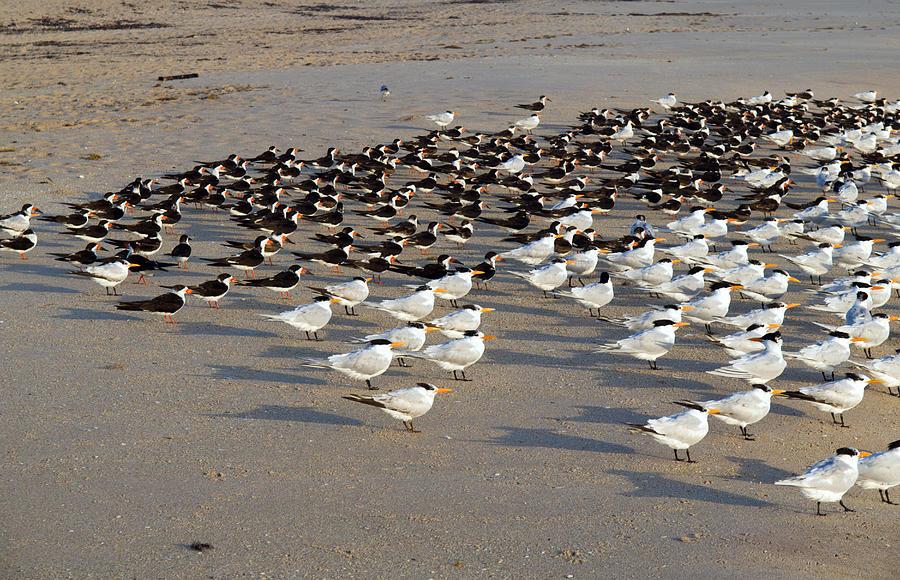Royal Terns At Sebastian Inlet In Florida Photograph by Allan  Hughes