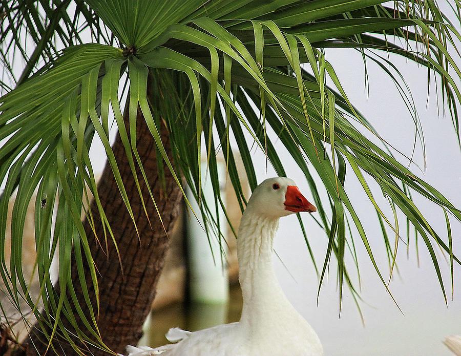 Goose Photograph - Royale Goose by Francesco Roncone