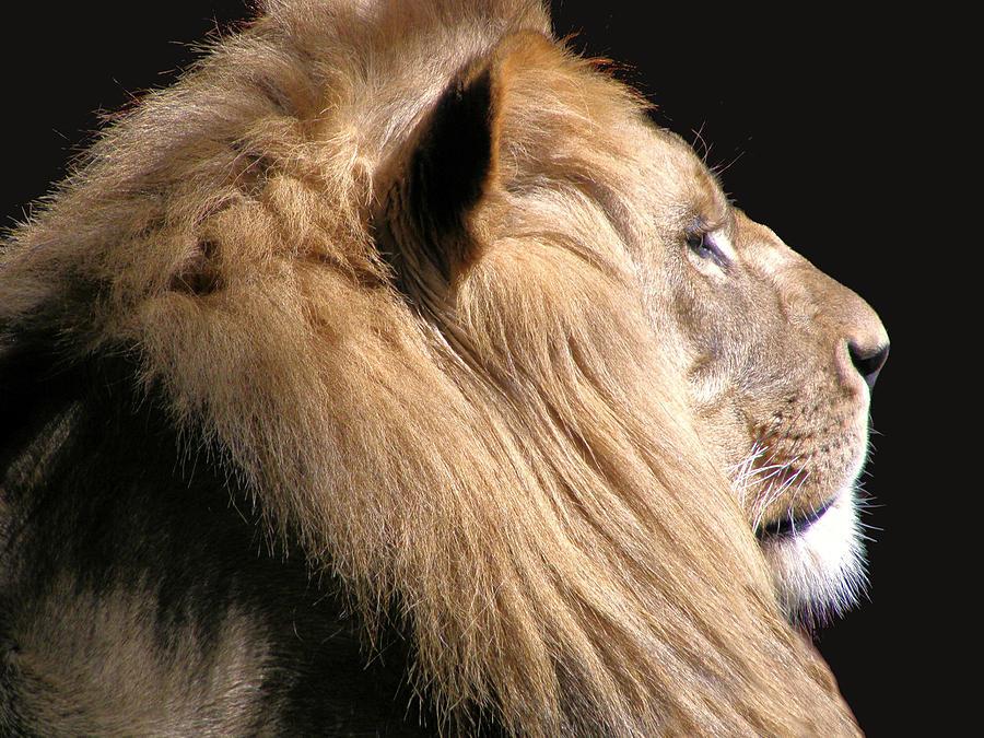 Lion Photograph - Royalty by Scott Hovind