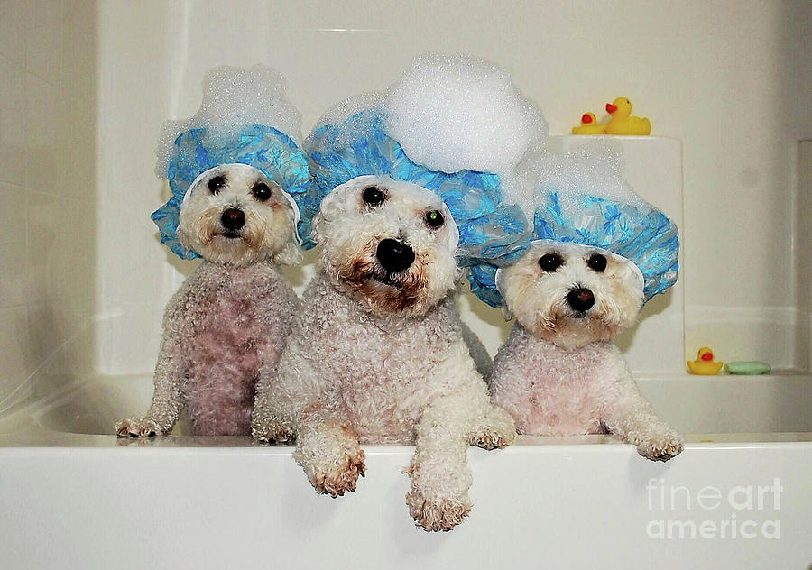 Rub A Dub Dub Three Dogs In A Tub Photograph by Jim Lapp