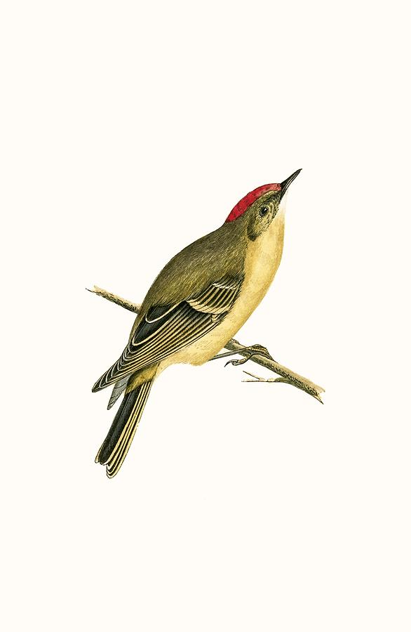 Bird Painting - Ruby Crowned Kinglet by English School