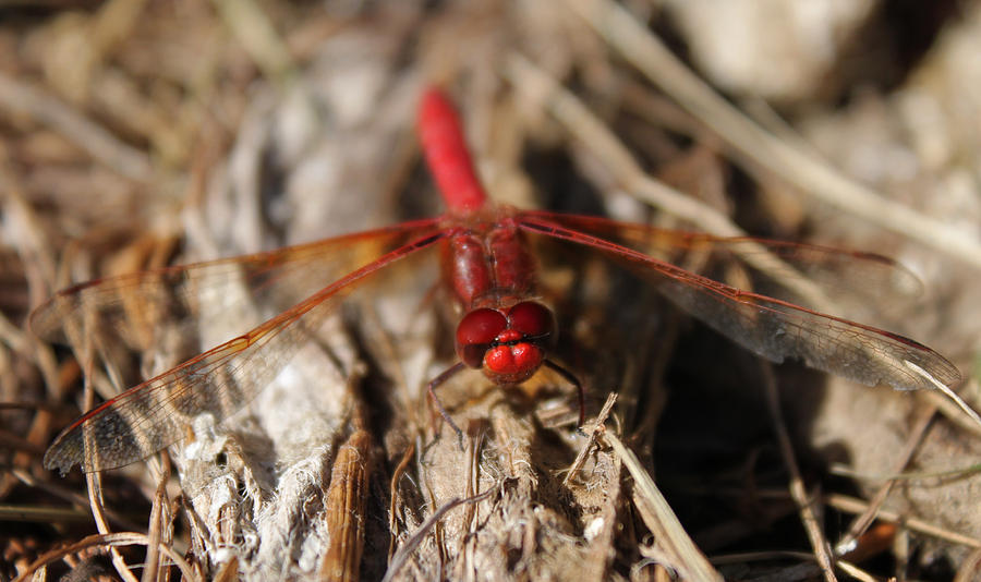 Red Dragonfly Photograph - Ruby Lips by Tracey Levine